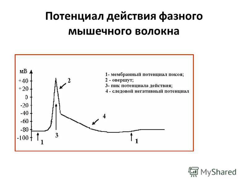 Потенциал действия фазного мышечного волокна