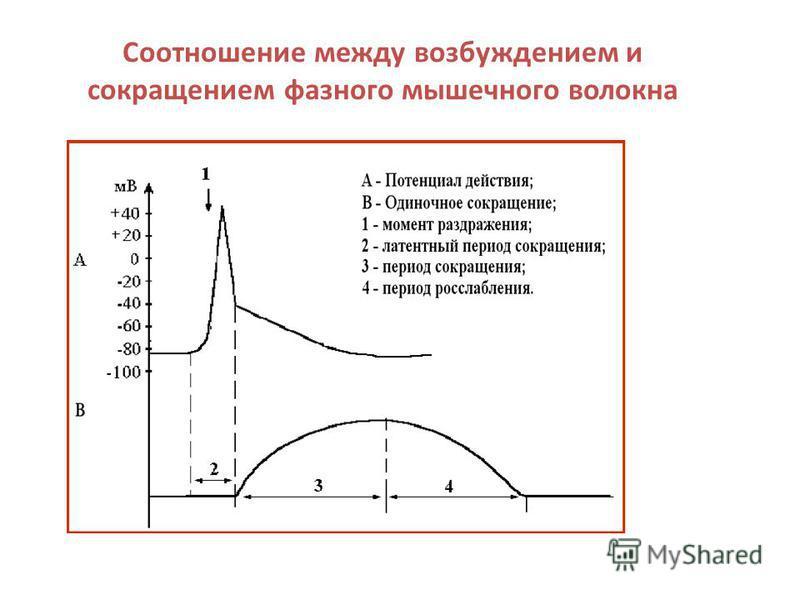 Соотношение между возбуждением и сокращением фазного мышечного волокна