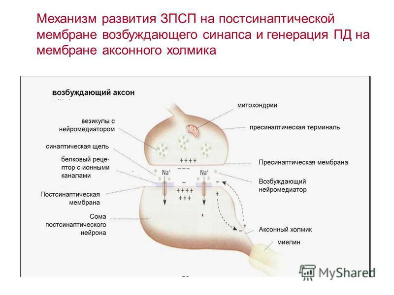 Механизм развития ЗПСП на постсинаптической мембране возбуждающего синапса и генерация ПД на мембране аксонного холмика