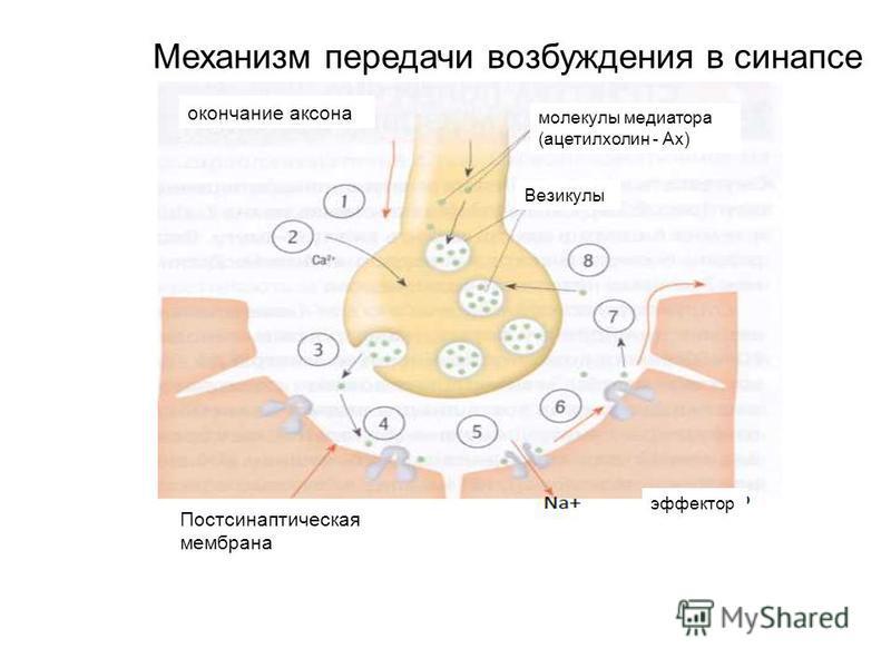 Механизм передачи возбуждения в синапсе Постсинаптическая мембрана эффектор окончание аксона молекулы медиатора (ацетилхолин - Ах) Везикулы