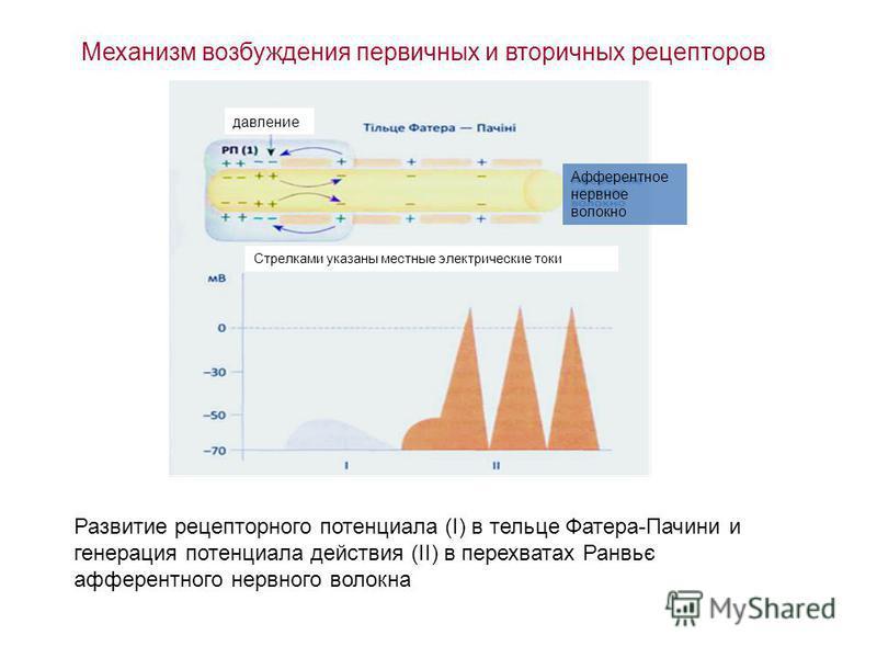 Механизм возбуждения первичных и вторичных рецепторов Развитие рецепторного потенциала (I) в тельце Фатера-Пачини и генерация потенциала действия (II) в перехватах Ранвьє афферентного нервного волокна Афферентное нервное волокно давление Стрелками ук