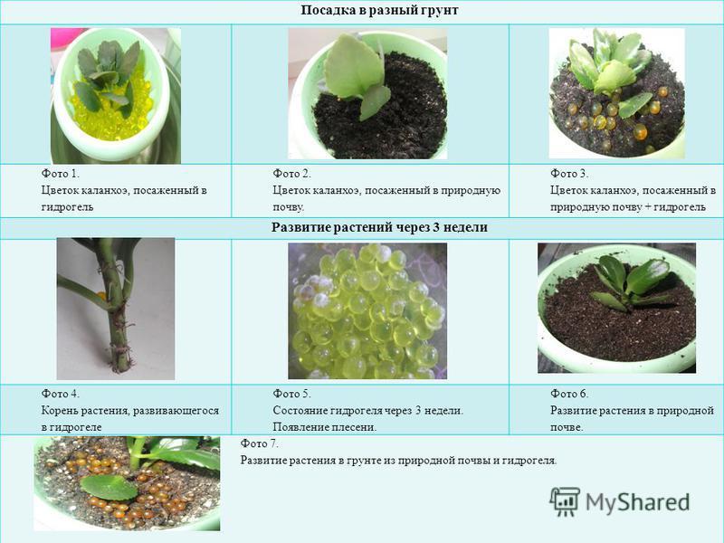 Посадка в разный грунт Фото 1. Цветок каланхоэ, посаженный в гидрогель Фото 2. Цветок каланхоэ, посаженный в природную почву. Фото 3. Цветок каланхоэ, посаженный в природную почву + гидрогель Развитие растений через 3 недели Фото 4. Корень растения,