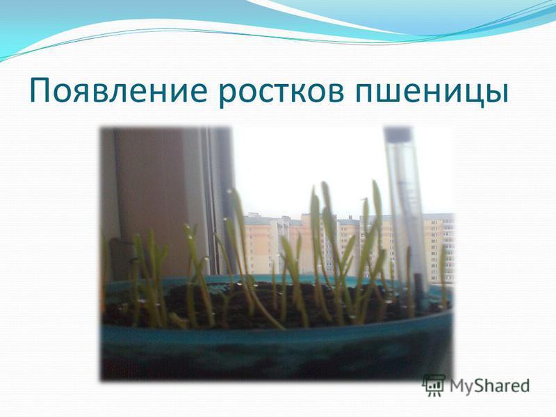 Появление ростков пшеницы