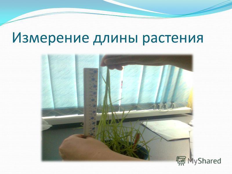 Измерение длины растения