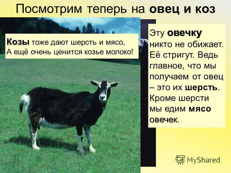 Посмотрим теперь на овец и коз овечку Эту овечку никто не обижает.Её стригут. Ведьглавное, что мы получаем от овец– это их шерсть. овечек Кроме шерстимы едим мясо овечек. Козы Козы тоже дают шерсть и мясо, А ещё очень ценится козье молоко!