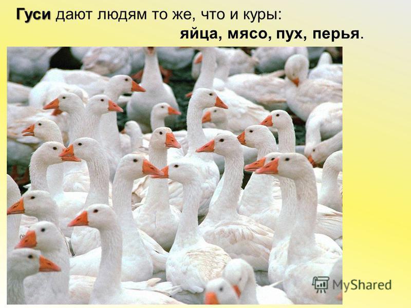 Гуси Гуси дают людям то же, что и куры: яйца, мясо, пух, перья.