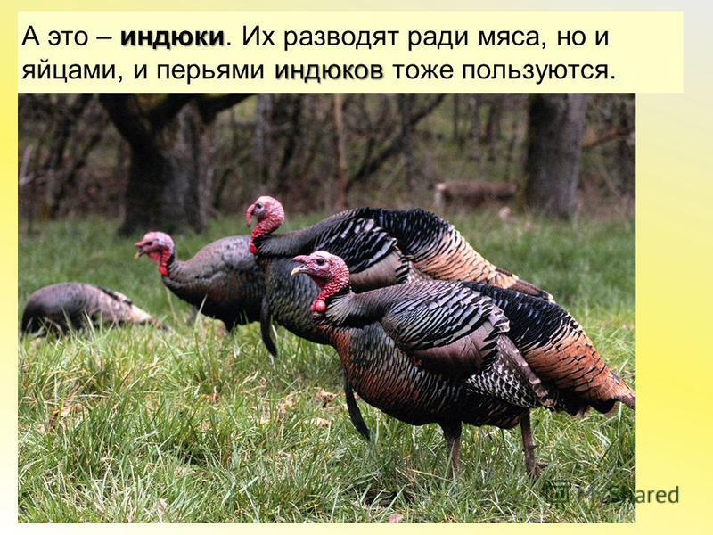 индюки индюков А это – индюки. Их разводят ради мяса, но и яйцами, и перьями индюков тоже пользуются.