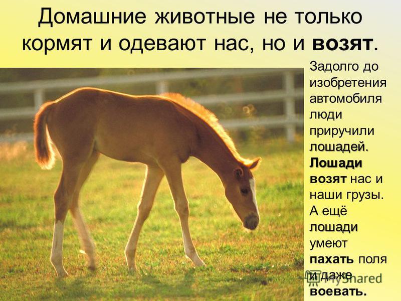 Домашние животные не только кормят и одевают нас, но и возят. лошадей. Задолго доизобретенияавтомобилялюдиприручилилошадей. Лошади Лошадивозят нас и наши грузы. лошади А ещёлошадиумеютпахать поля и даже воевать.