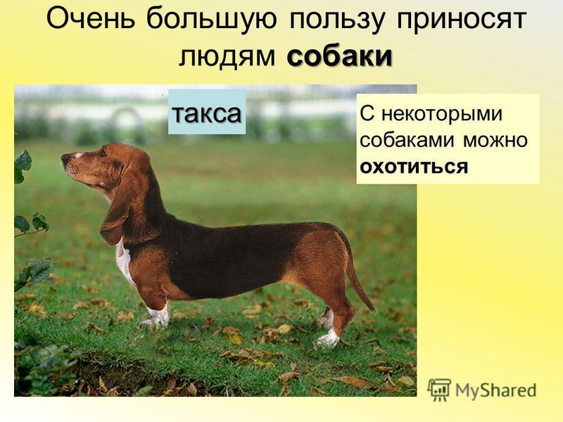 собаки Очень большую пользу приносят людям собаки С некоторыми собаками можно охотиться такса