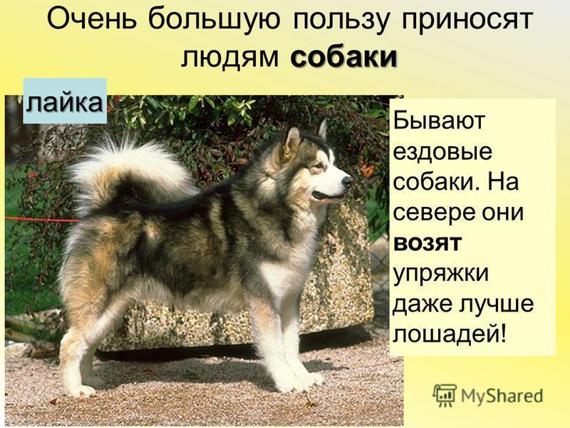собаки Очень большую пользу приносят людям собаки Бываютездовыесобаки. Насевере онивозятупряжкидаже лучше лошадей! лайка