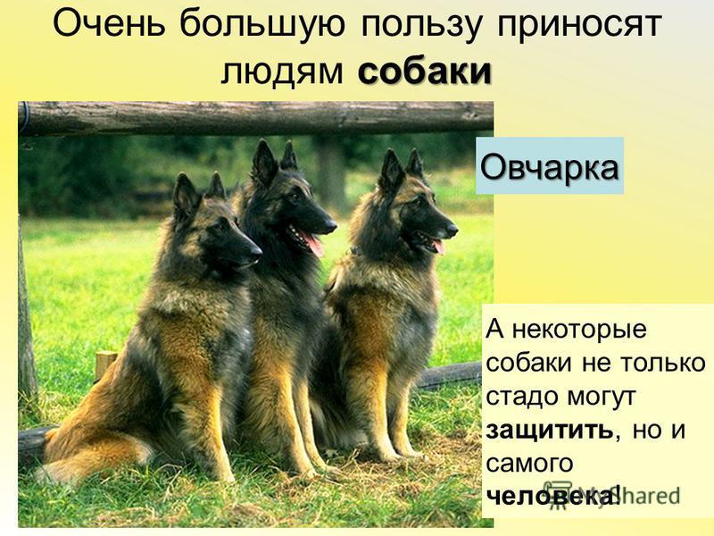 собаки Очень большую пользу приносят людям собаки А некоторые собаки не только стадо могут защитить, но и самого человека ! Овчарка