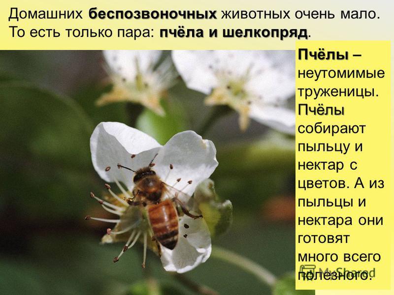 беспозвоночных пчёла и шелкопряд Домашних беспозвоночных животных очень мало. То есть только пара: пчёла и шелкопряд. Пчёлы Пчёлы Пчёлы – неутомимые труженицы.Пчёлысобираютпыльцу и нектар сцветов. А из пыльцы и нектара они готовят много всего полезно
