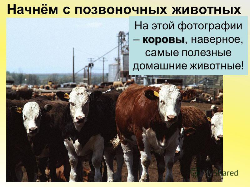 Начнём с позвоночных животных коровы На этой фотографии – коровы, наверное, самые полезные домашние животные!