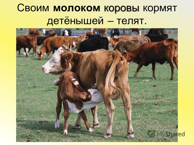коровы Своим молоком коровы кормят детёнышей – телят.