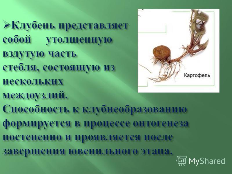Клубень представляет собой утолщенную вздутую часть стебля, состоящую из нескольких междоузлий. Способность к клубнеобразованию формируется в процессе онтогенеза постепенно и проявляется после завершения ювенильного этапа. Клубень представляет собой