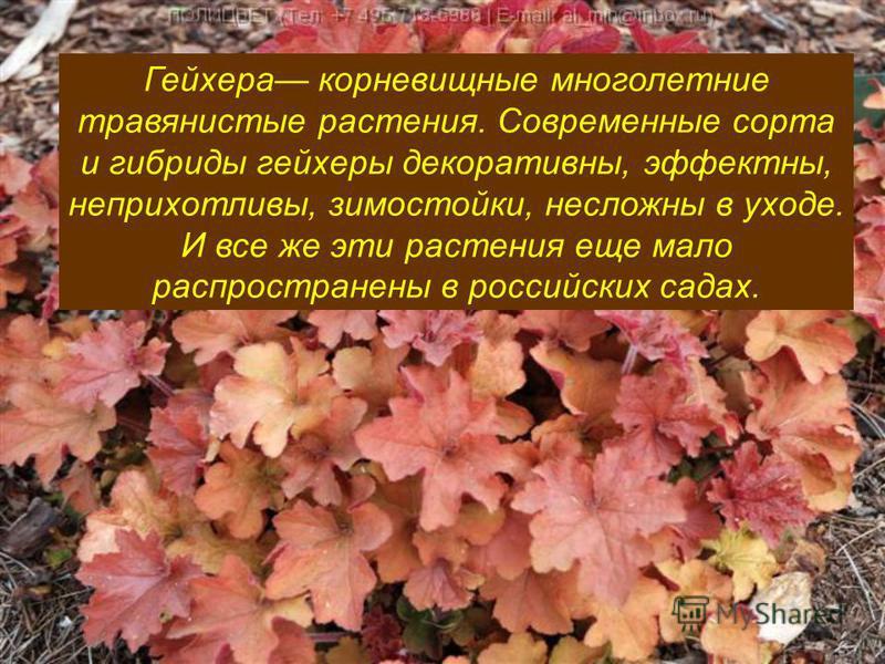 Гейхера корневищные многолетние травянистые растения. Современные сорта и гибриды гейзеры декоративны, эффектны, неприхотливы, зимостойки, несложны в уходе. И все же эти растения еще мало распространены в российских садах.