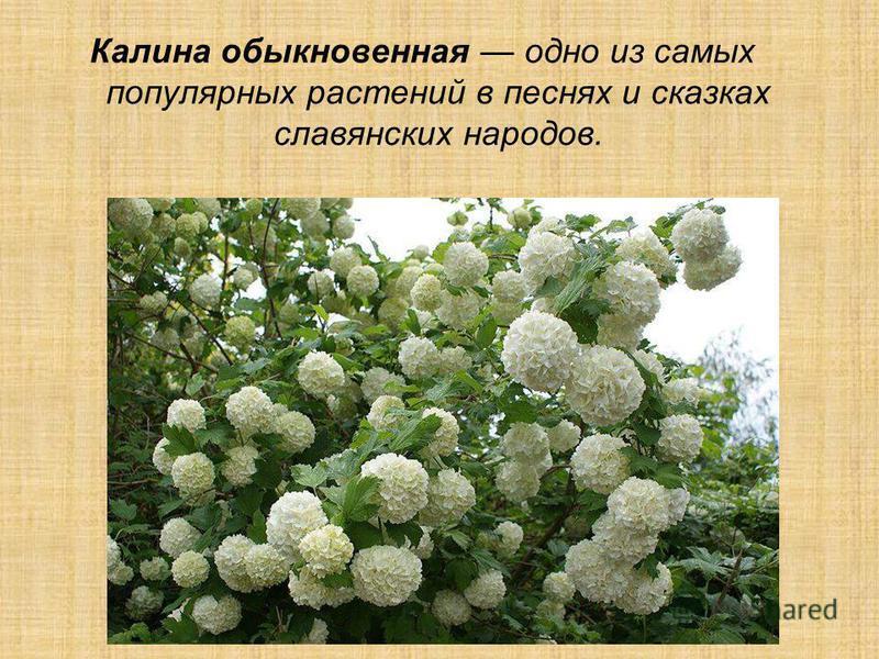 Калина обыкновенная одно из самых популярных растений в песнях и сказках славянских народов.