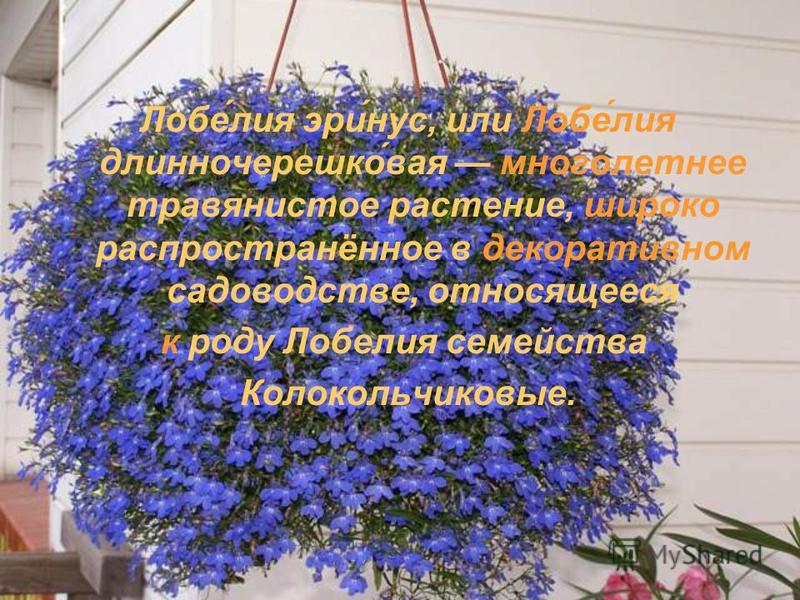 Лобе́лия эри́нос, или Лобе́лия длинночерешко́вайя многолетнее травянистое растение, широко распространённое в декоративном садоводстве, относящееся к роду Лобелия семейства Колокольчиковые.
