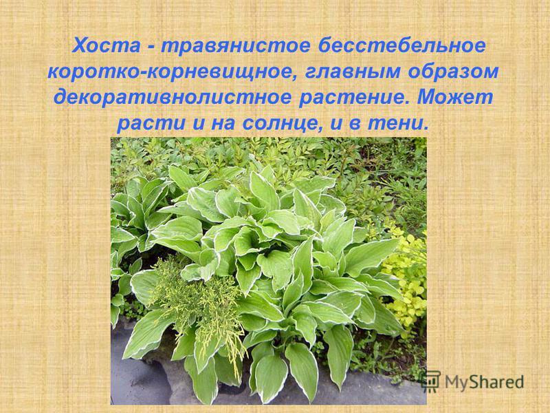 Хоста - травянистое бесстебельное коротко-корневищное, главным образом декоративнолистное растение. Может расти и на солнце, и в тени.