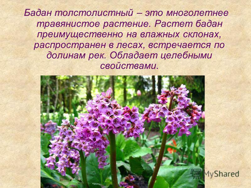Бадан толстолистный – это многолетнее травянистое растение. Растет бадан преимущественно на влажных склонах, распространен в лесах, встречается по долинам рек. Обладает целебными свойствами.