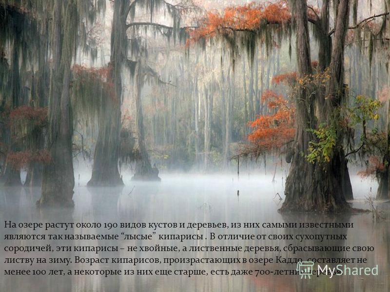 На озере растут около 190 видов кустов и деревьев, из них самыми известными являются так называемые лысые кипарисы. В отличие от своих сухопутных сородичей, эти кипарисы – не хвойные, а лиственные деревья, сбрасывающие свою листву на зиму. Возраст ки