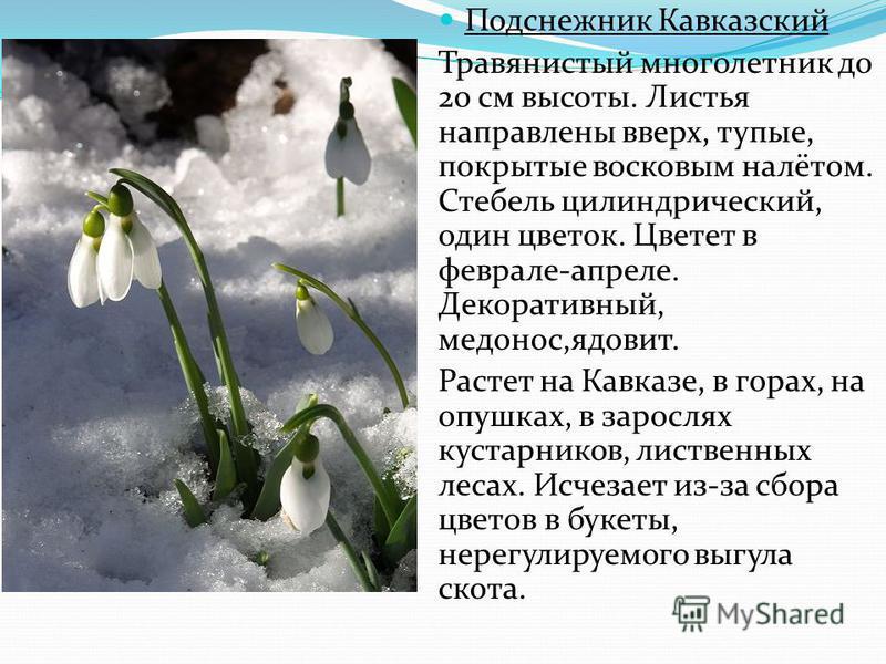 Подснежник Кавказский Травянистый многолетник до 20 см высоты. Листья направлены вверх, тупые, покрытые восковым налётом. Стебель цилиндрический, один цветок. Цветет в феврале-апреле. Декоративный, медонос,ядовит. Растет на Кавказе, в горах, на опушк