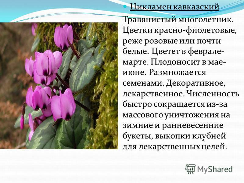 Цикламен кавказский Травянистый многолетник. Цветки красно-фиолетовые, реже розовые или почти белые. Цветет в феврале- марте. Плодоносит в мае- июне. Размножается семенами. Декоративное, лекарственное. Численность быстро сокращается из-за массового у