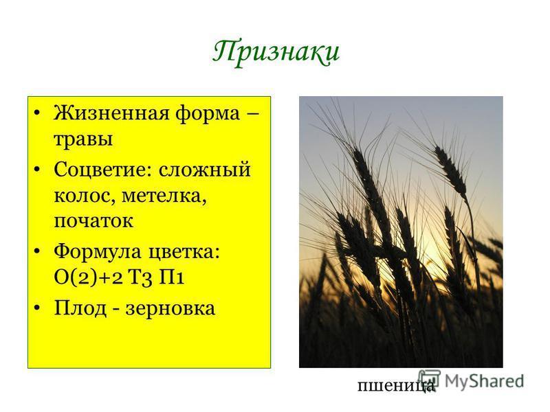 Признаки Жизненная форма – травы Соцветие: сложный колос, метелка, початок Формула цветка: О(2)+2 Т3 П1 Плод - зерновка пшеница