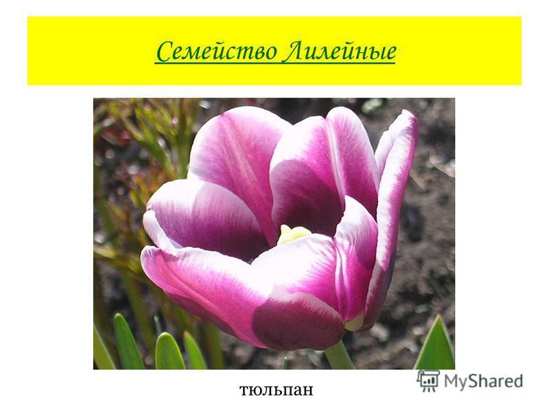 Семейство Лилейные тюльпан