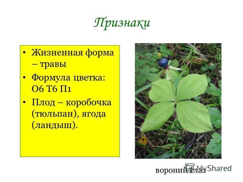 Признаки Жизненная форма – травы Формула цветка: О6 Т6 П1 Плод – коробочка (тюльпан), ягода (ландыш). вороний глаз