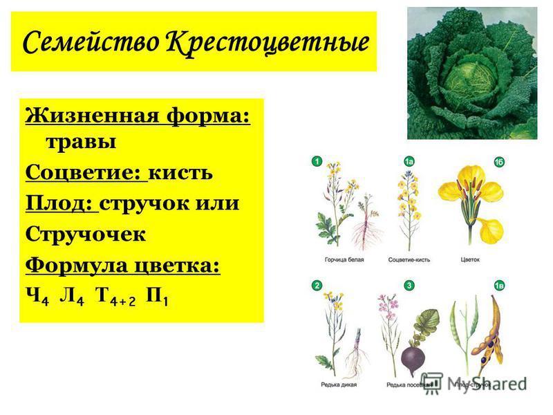 Стручочек Формула цветка
