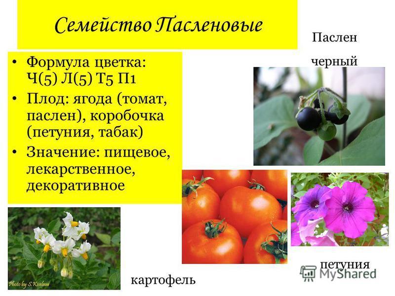 Семейство Пасленовые Формула цветка: Ч(5) Л(5) Т5 П1 Плод: ягода (томат, паслен), коробочка (петуния, табак) Значение: пищевое, лекарственное, декоративное Паслен черный петуния картофель
