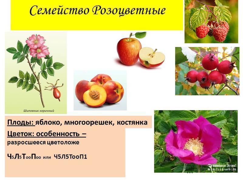 Семейство Розоцветные Цветок: особенность – разросшееся цветоложе Ч 5 Л 5 Т о П о или Ч5Л5ТоП1 Плоды: яблоко, многорешек, костянка