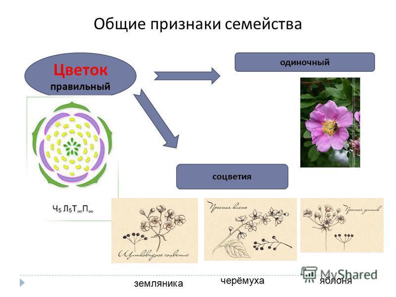 Общие признаки семейства Цветок правильный одиночный соцветия земляника черёмуха яблоня