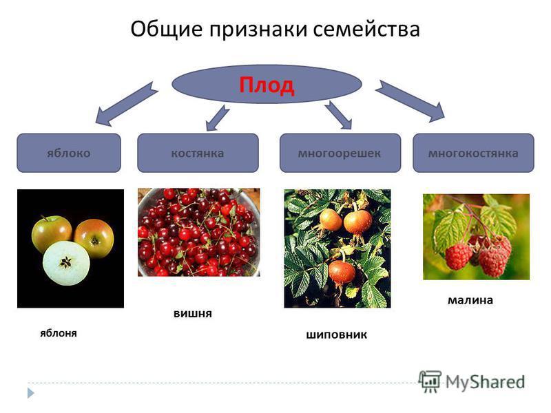 Общие признаки семейства Плод яблококостянкамногоорешекмногокостянка малина шиповник вишня яблоня
