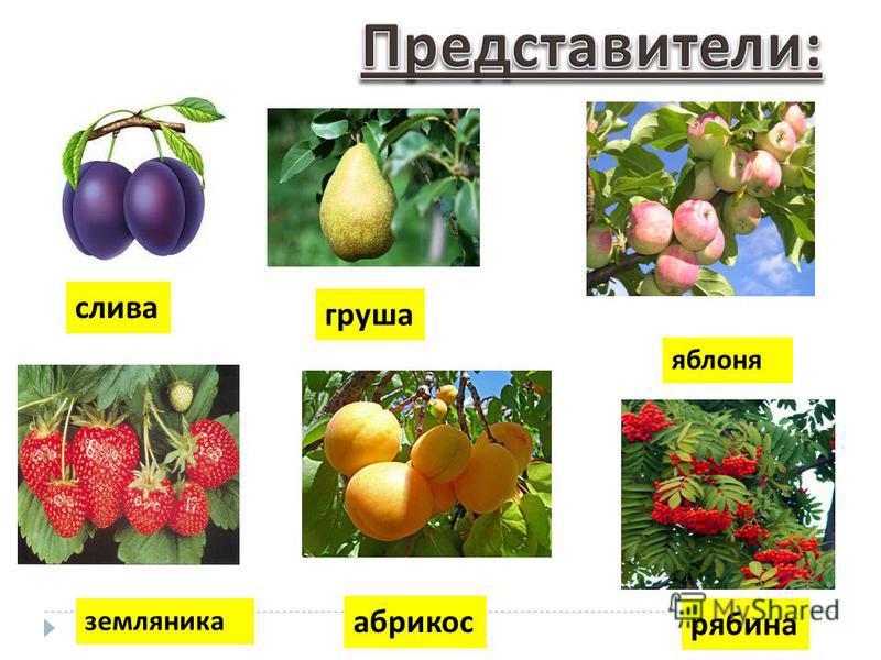 рябина абрикос земляника слива груша