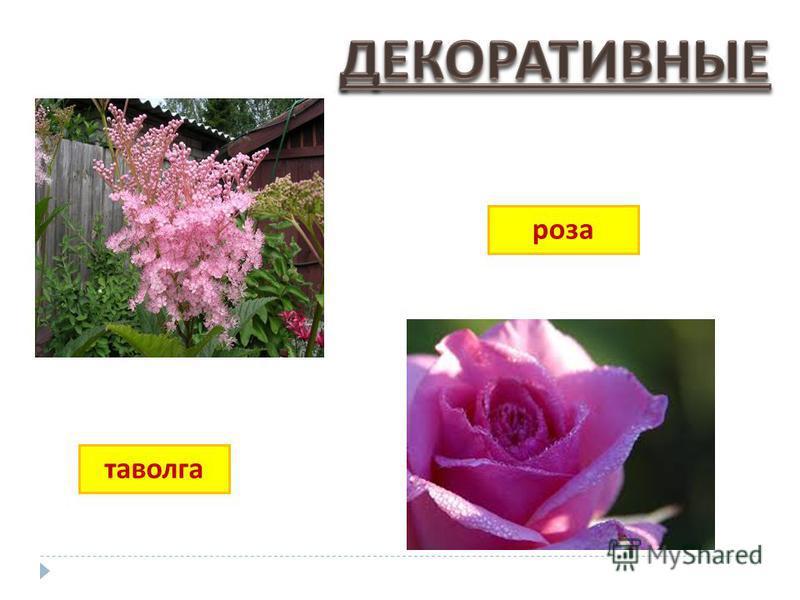 таволга роза
