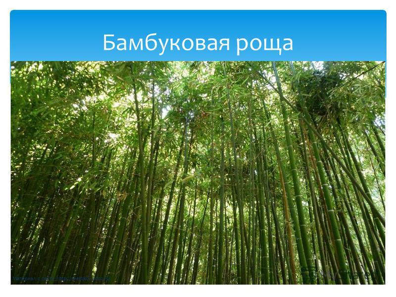 Бамбуковая роща Материал с сайта http://chertkov.ucoz.ru/