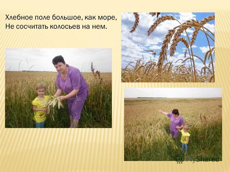 Хлебное поле большое, как море, Не сосчитать колосьев на нем.