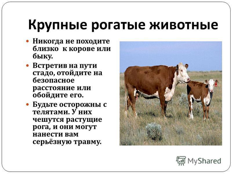 Крупные рогатые животные Никогда не походите близко к корове или быку. Встретив на пути стадо, отойдите на безопасное расстояние или обойдите его. Будьте осторожны с телятами. У них чешутся растущие рога, и они могут нанести вам серьёзную травму.