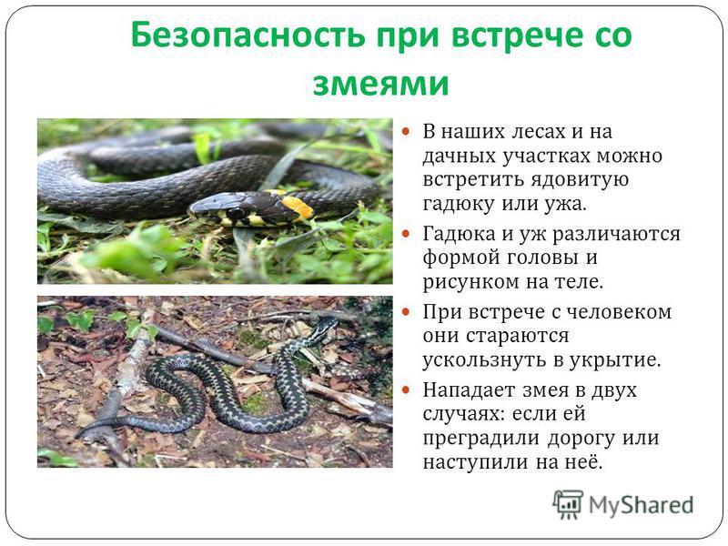 Безопасность при встрече со змеями В наших лесах и на дачных участках можно встретить ядовитую гадюку или ужа. Гадюка и уж различаются формой головы и рисунком на теле. При встрече с человеком они стараются ускользнуть в укрытие. Нападает змея в двух