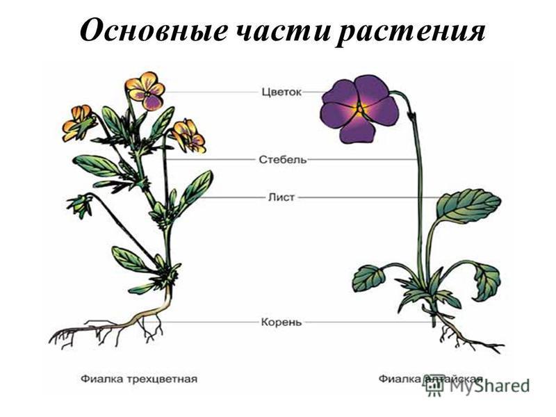 Основные части растения