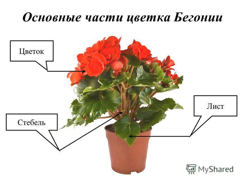 Основные части цветка Бегонии Лист Цветок Стебель