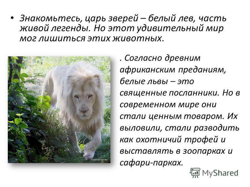 . Согласно древним африканским преданиям, белые львы – это священные посланники. Но в современном мире они стали ценным товаром. Их выловили, стали разводить как охотничий трофей и выставлять в зоопарках и сафари-парках. Знакомьтесь, царь зверей – бе