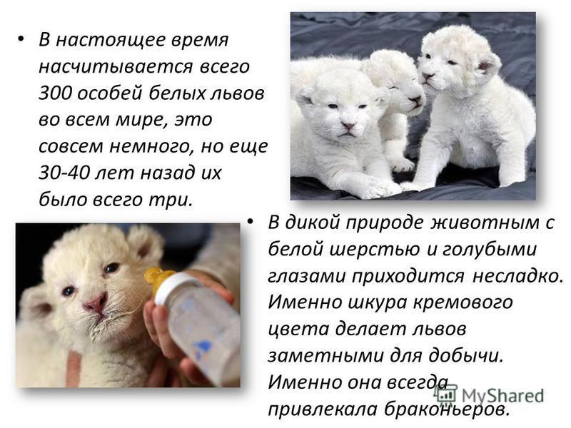 В настоящее время насчитывается всего 300 особей белых львов во всем мире, это совсем немного, но еще 30-40 лет назад их было всего три. В дикой природе животным с белой шерстью и голубыми глазами приходится несладко. Именно шкура кремового цвета дел