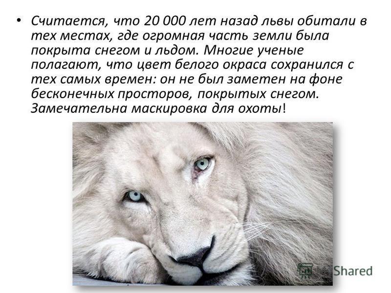 Считается, что 20 000 лет назад львы обитали в тех местах, где огромная часть земли была покрыта снегом и льдом. Многие ученые полагают, что цвет белого окраса сохранился с тех самых времен: он не был заметен на фоне бесконечных просторов, покрытых с