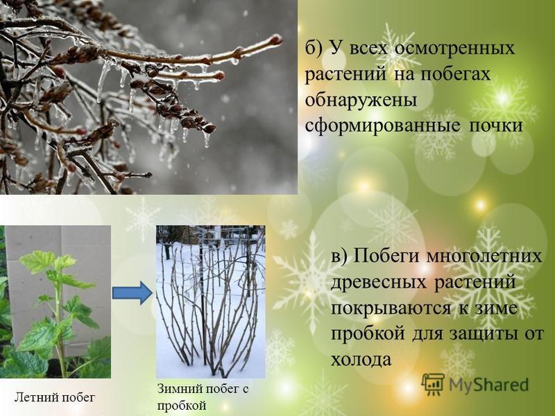 б) У всех осмотренных растений на побегах обнаружены сформированные почки в) Побеги многолетних древесных растений покрываются к зиме пробкой для защиты от холода Летний побег Зимний побег с пробкой