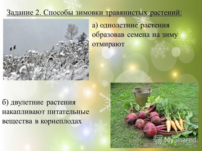 Задание 2. Способы зимовки травянистых растений: б) двулетние растения накапливают питательные вещества в корнеплодах а) однолетние растения образовав семена на зиму отмирают