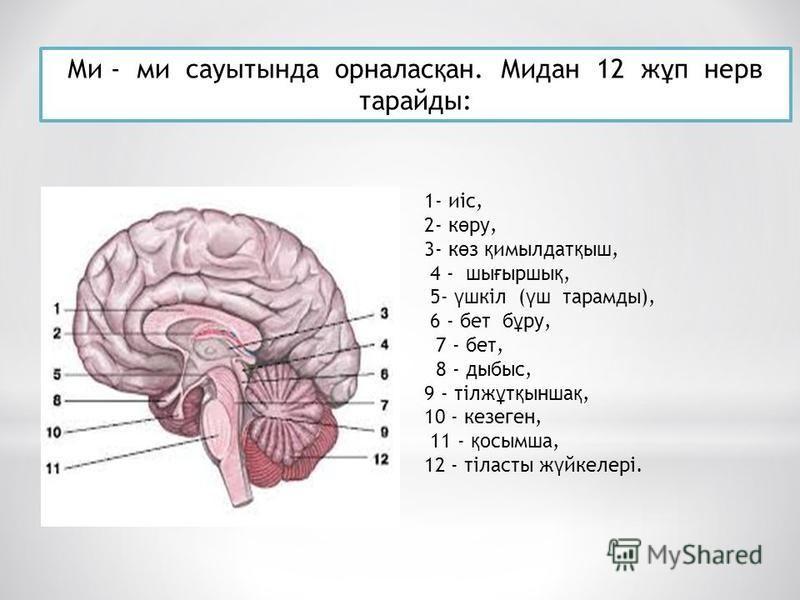 Ми - ми сауытсттында орналас қ ан. Мидан 12 ж ұ п нерв тарайды: 1- иіс, 2- к ө ру, 3- к ө з қ имылдат қ ыш, 4 - ши ғ ырши қ, 5- ү шкіл ( ү ш тарамды), 6 - бет б ұ ру, 7 - бет, 8 - дыбыс, 9 - тілж ұ т қ сынша қ, 10 - кезеген, 11 - қ осымша, 12 - тілас