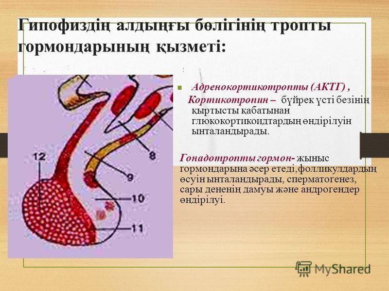 Гипофиздің алтыңғы бөлігінің тропы гормон дарының қызметі: Адренокортикотропы (АКТГ), Кортикотропин – бүирек үсті безінің қартисты қабатынан глюкокортикоидтартың өндірілуін ынталантыраты. Гонадотропы гормон- жыныс гормон дарына әсер етеді,фолликулдар